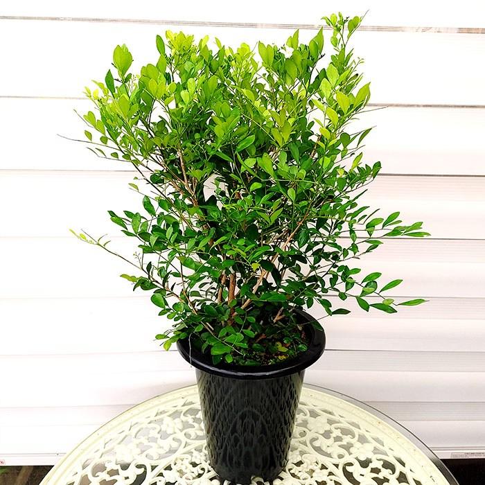 하늘꽃농원 오렌지자스민 공기정화식물 (65cm)