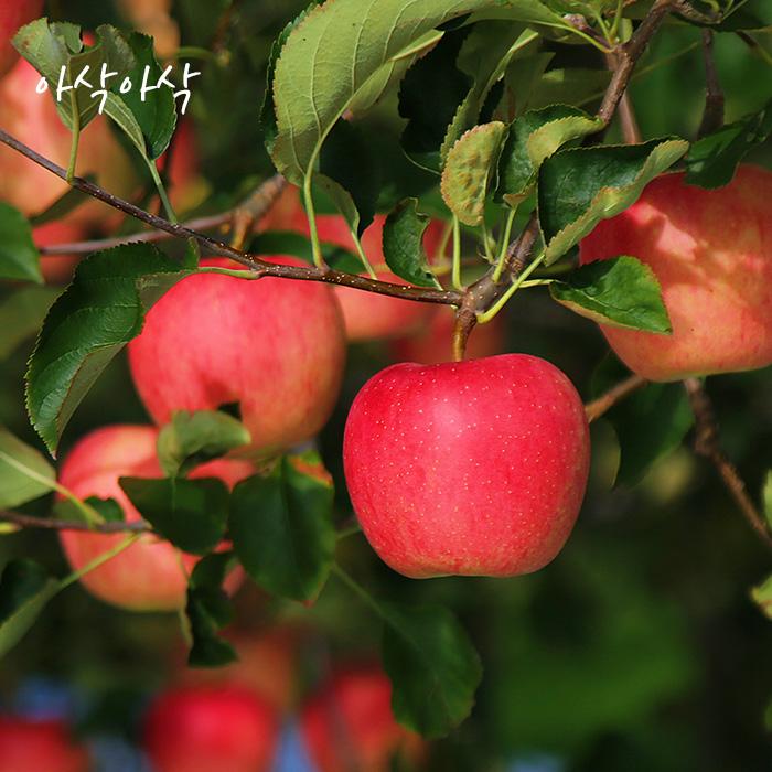 아삭아삭 가정용 달콤한 사과, 5kg 중과 17-19과내외
