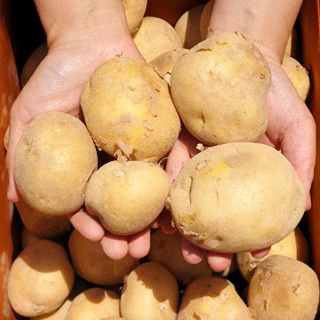 청년마켓 20년 수확 포슬포슬 햇 감자, 1개, 대 10kg (찜용)