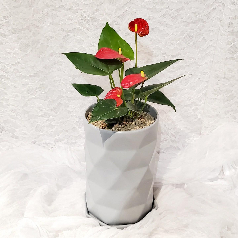 가홈플라워 안스리움 공기정화식물 화분 실내 미세먼지 반려식물, 레드