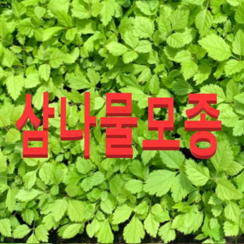 (성실C)눈개승마 삼나물모종(100개)삼나물모종