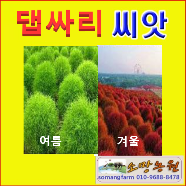 G(소망)댑싸리(코키아)씨앗(약 1000립)판매