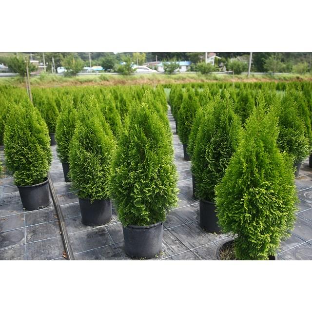 세종식물원 조경수 정원수 울타리 에메랄드그린 나무 묘목 포트 (30cm전후)
