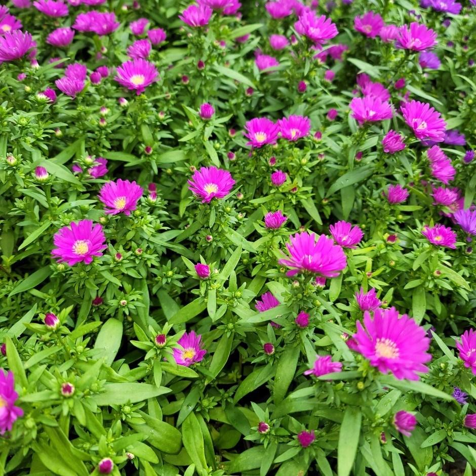 콩플라워 아스타국화 핑크 보라 색상랜덤 10개묶음