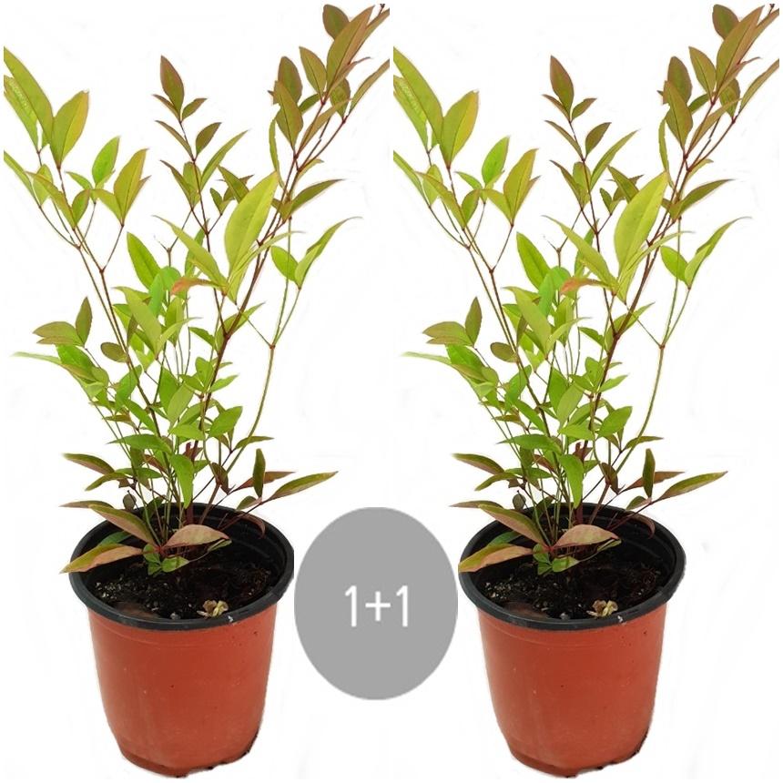 트리앤 율마 개운죽 행운목 공기정화식물 미세먼지제거식물, 13.1+1 남천 1개