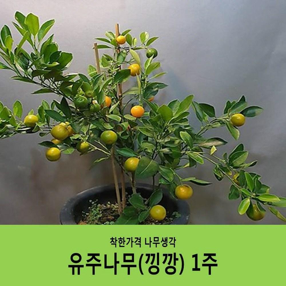 착한가격 나무생각 유주(낑깡 금귤)나무(결실주(분묘) 화분미포함