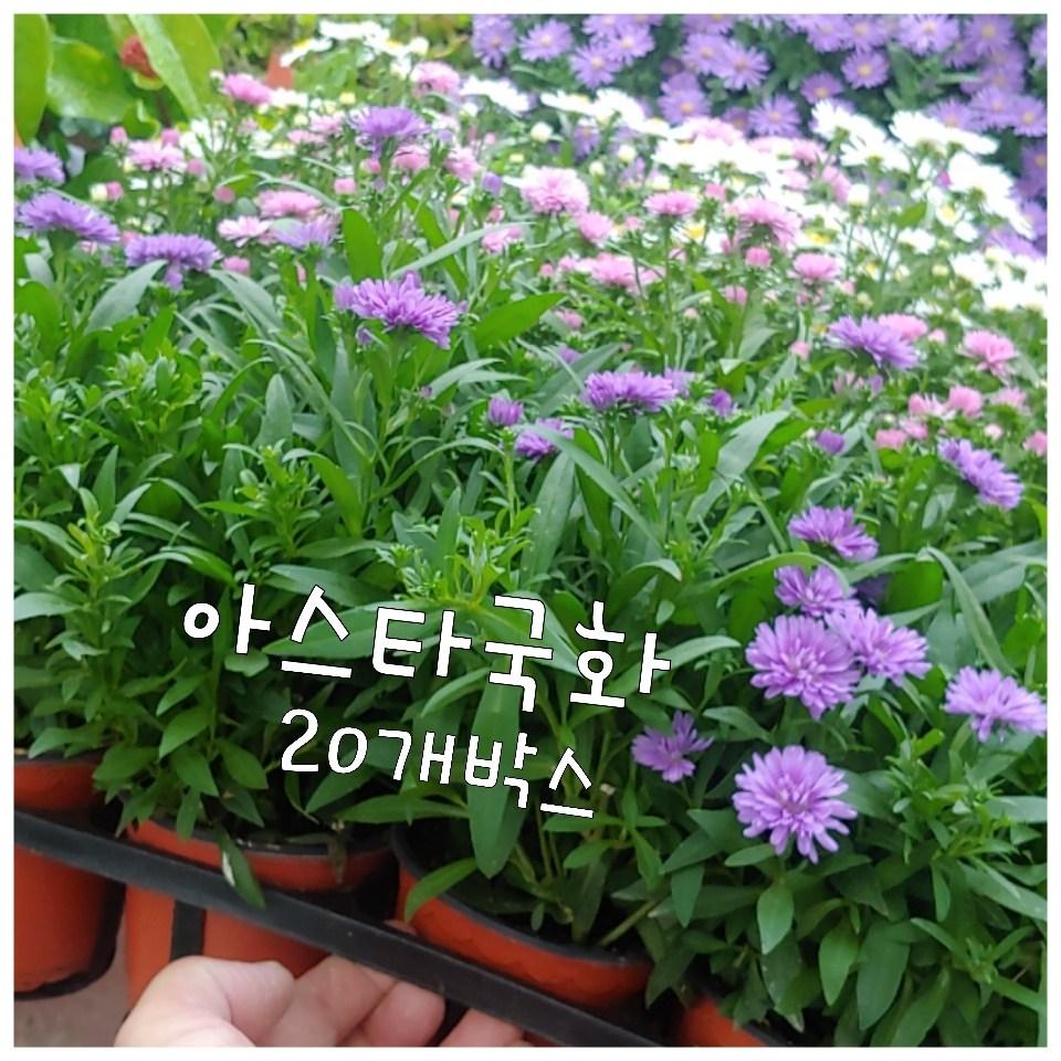 꽃나라엘리스 아스타국화-20개박스-신비로운 꽃 아스타국화