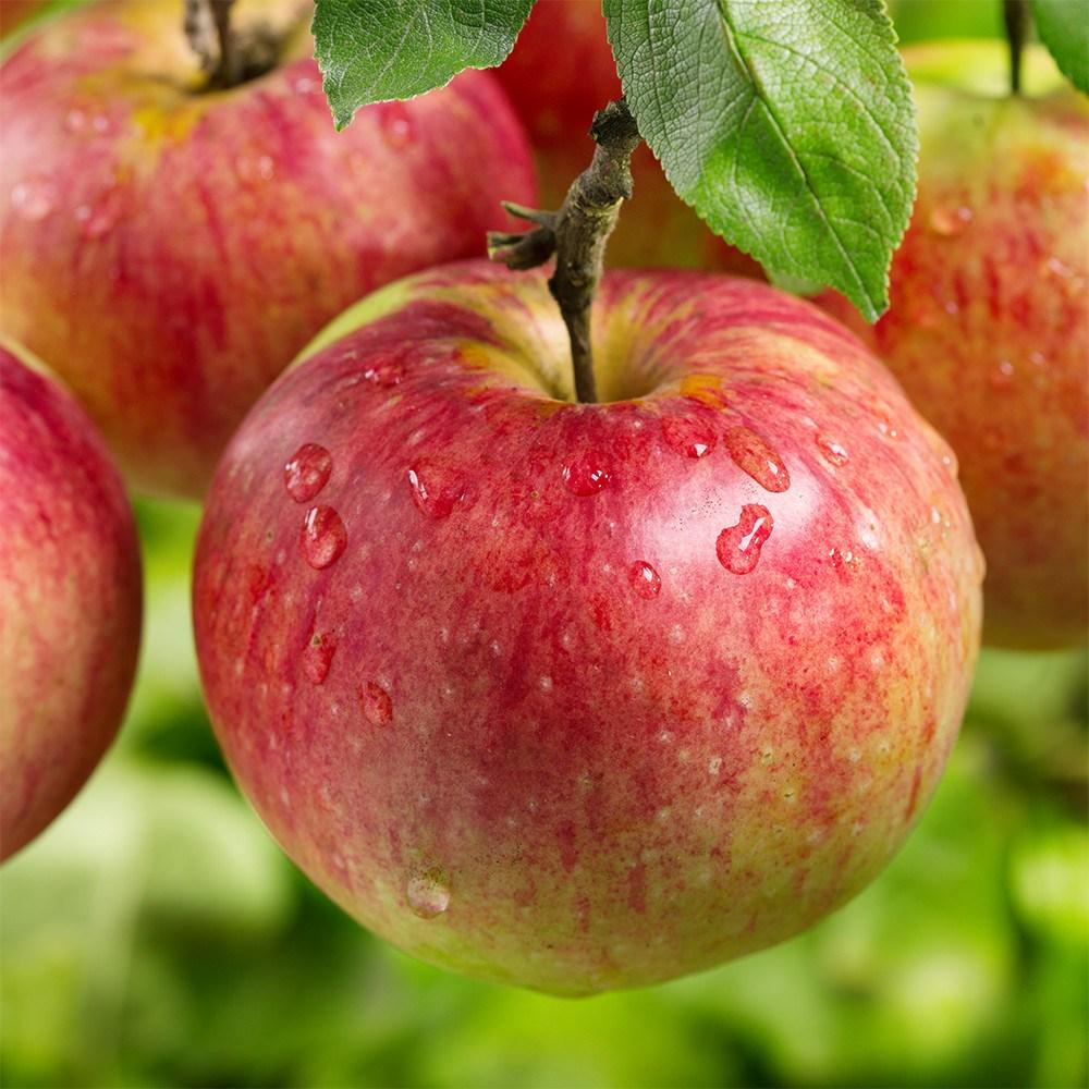 꿀맛 햇 사과 가정용흠과 2.3KG 5.3KG 10.3KG(부자재무게포함), 1박스, 가정용사과 2.3KG 대과(2개구매시 5.3키로 발송)