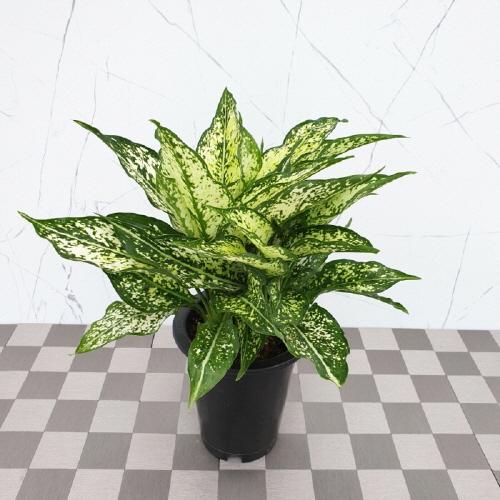 도희씨네 정원></noscript>> 잎보기 식물 스노우 사파이어 149″ /></noscript          ></a> </p> <p> <span class=
