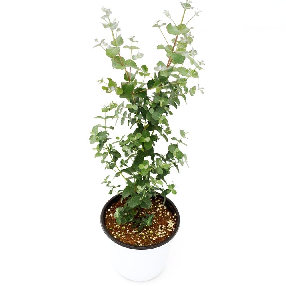 아침향기 공기정화식물 중형 대형 화분, 유칼립투스(중형), 1p