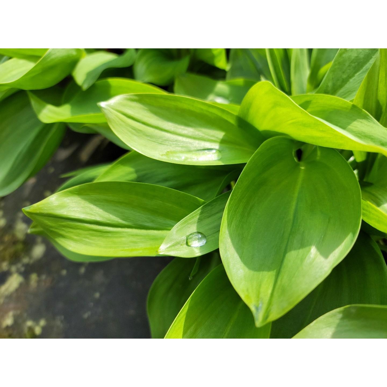 산지직송 부여 명이나물(산마늘) 잎명이 2kg
