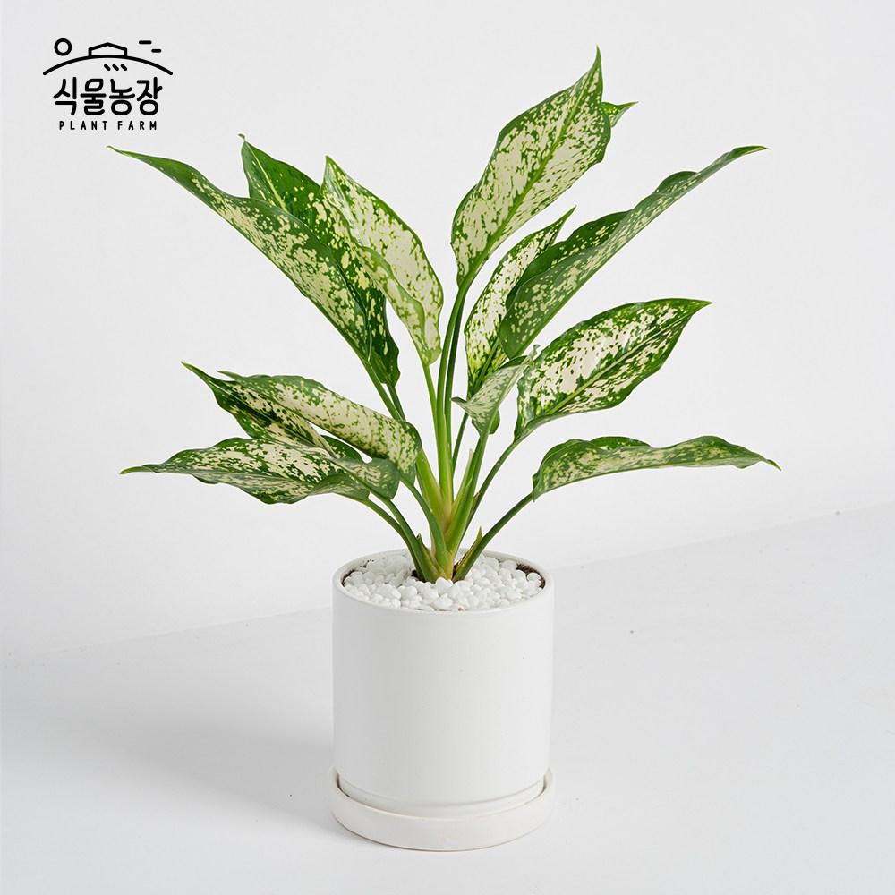 식물농장 아글라오네마 스노우사파이어 미니화분 레옹 화분, 1개, 세라믹화분+화이트+무광