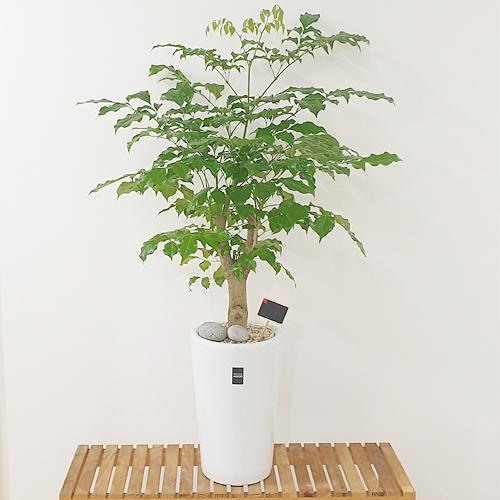 햇살농장 중대형 공기정화식물 인테리어 개업화분, 1개, 12.(중형)녹보수