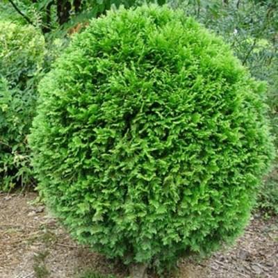 세종식물원 정원 조경 신품종 서양측백 공모양 에메랄드부시(부쉬) 나무 묘목 포트