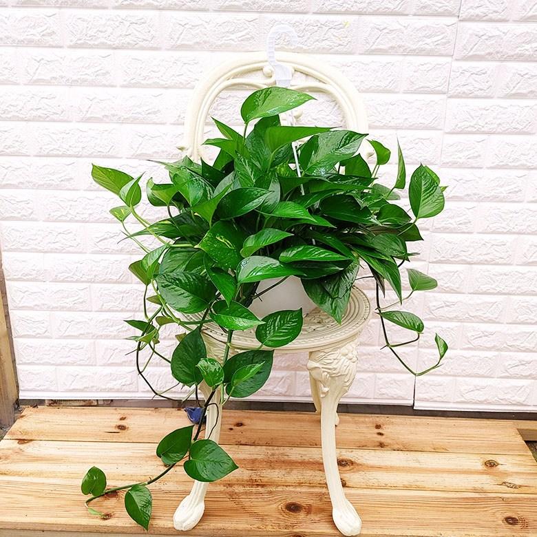 [하늘꽃농원] 실내 공기정화 스킨답서스 키우기쉬운 행잉식물