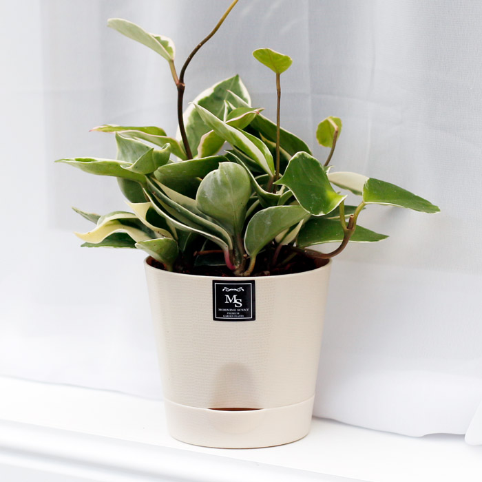 아침향기 공기정화식물 기능성 에코화분 아이보리, (에코화분/아이보리) 호야, 1개