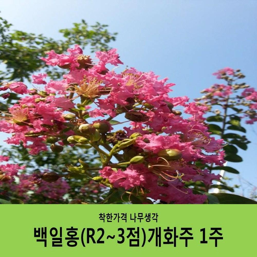 착한가격 나무생각 백일홍(H1.5~1.7)R2~3점개화주(개별화물택배비포함)