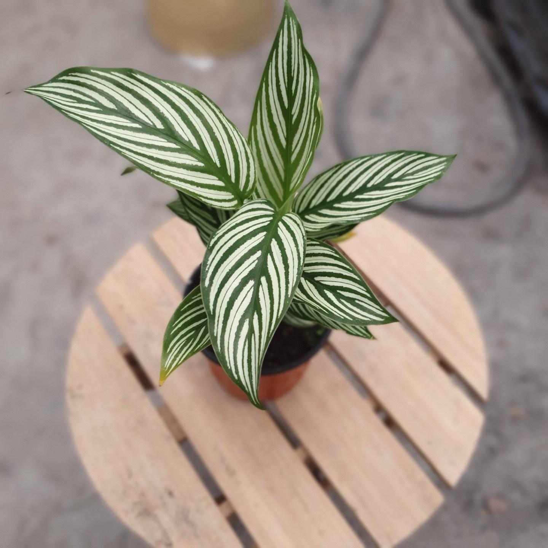 공룡꽃식물원 [나인에잇틴]칼라데아 비타타 수입식물 79