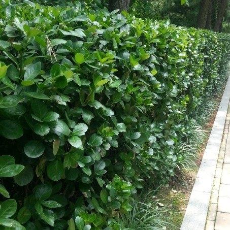 가림원예조경 사철나무 묘목 키1.2m(10개묶음), 사철나무 키1.0~1.2m(10개묶음)