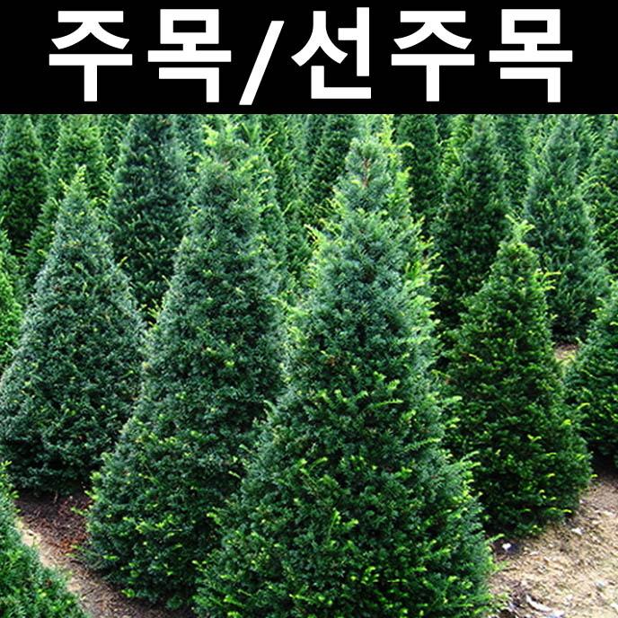 순수농원 주목 키1.7~1.8m(분) 1개 나무 묘목 상록수 조경용