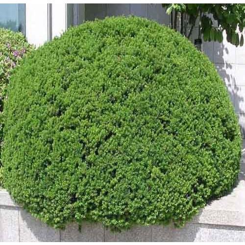 둥근주목나무(눈주목) 키30~40cm 특가판매!!, 좀눈향나무 폭 30~40cm(분), 1