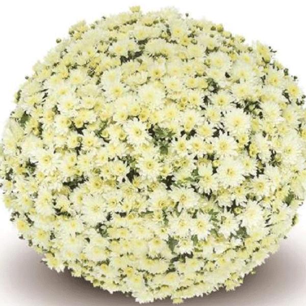 복남이네야생화 국화-가든멈 폰티 화이트 [3포트] (10cm포트 가을 정원국화 모종)