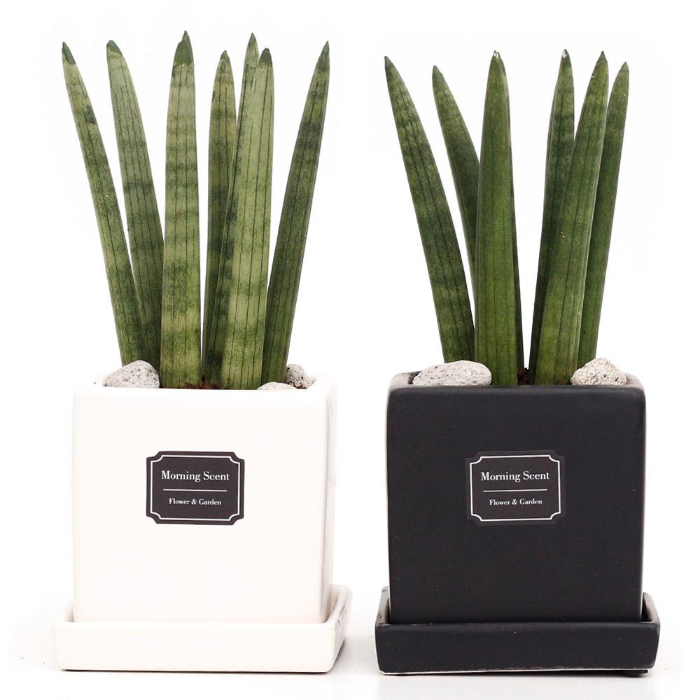 공기정화식물 산세베리아 스투키 1+1 무광 사각 화분 블랙 화이트, 사각무광 스투키7촉1+1, 블랙+화이트