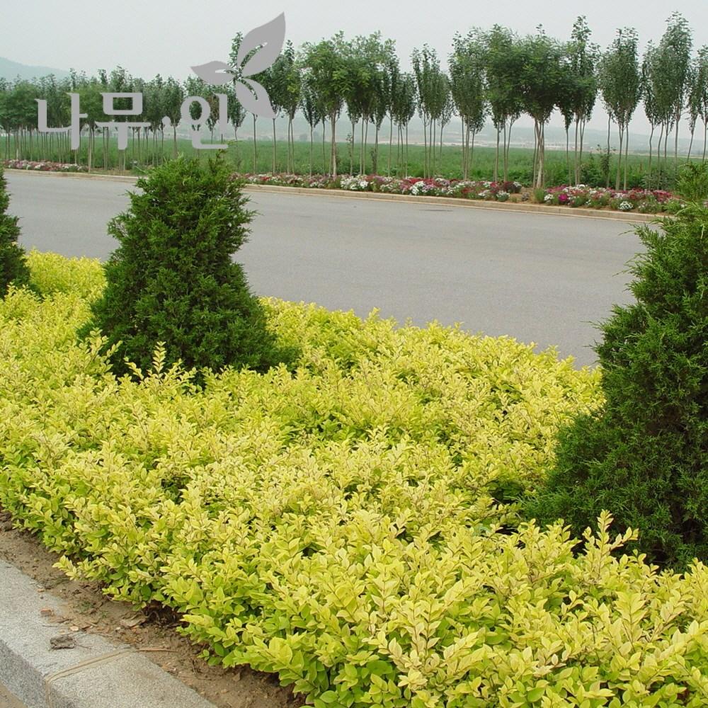[나무인] 황금사철나무 5포트