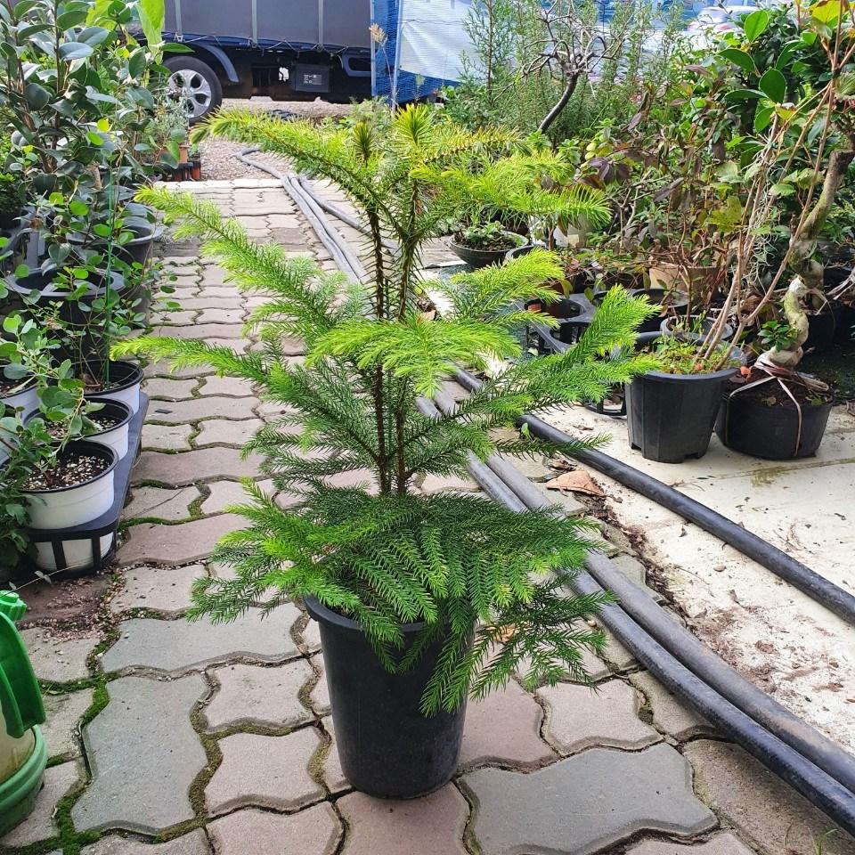아라우카리아 겨울식물 중대품 크리스마스 40~70cm 149