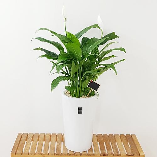 햇살농장 중대형 공기정화식물 인테리어 개업화분, 1개, 3.(중형)스파트필름