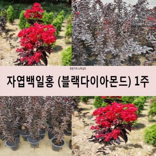 착한가격 나무생각 자엽백일홍(블랙다이아몬드)1M 1주