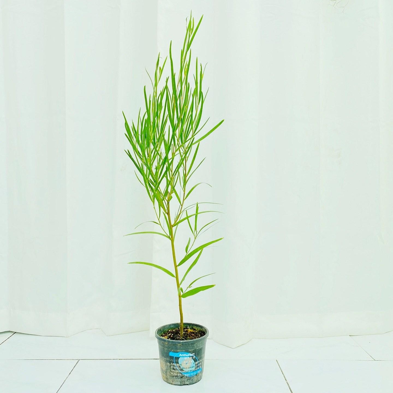 청년농부 긴잎 아카시아 초록식물 공기정화식물 나무식물 인테리어식물
