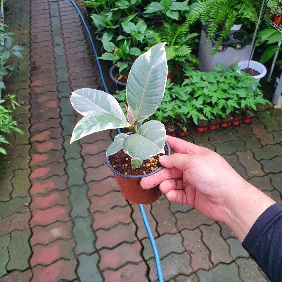 수채화고무나무 소품 10~30cm 29 뱅갈고무나무 인도고무나무