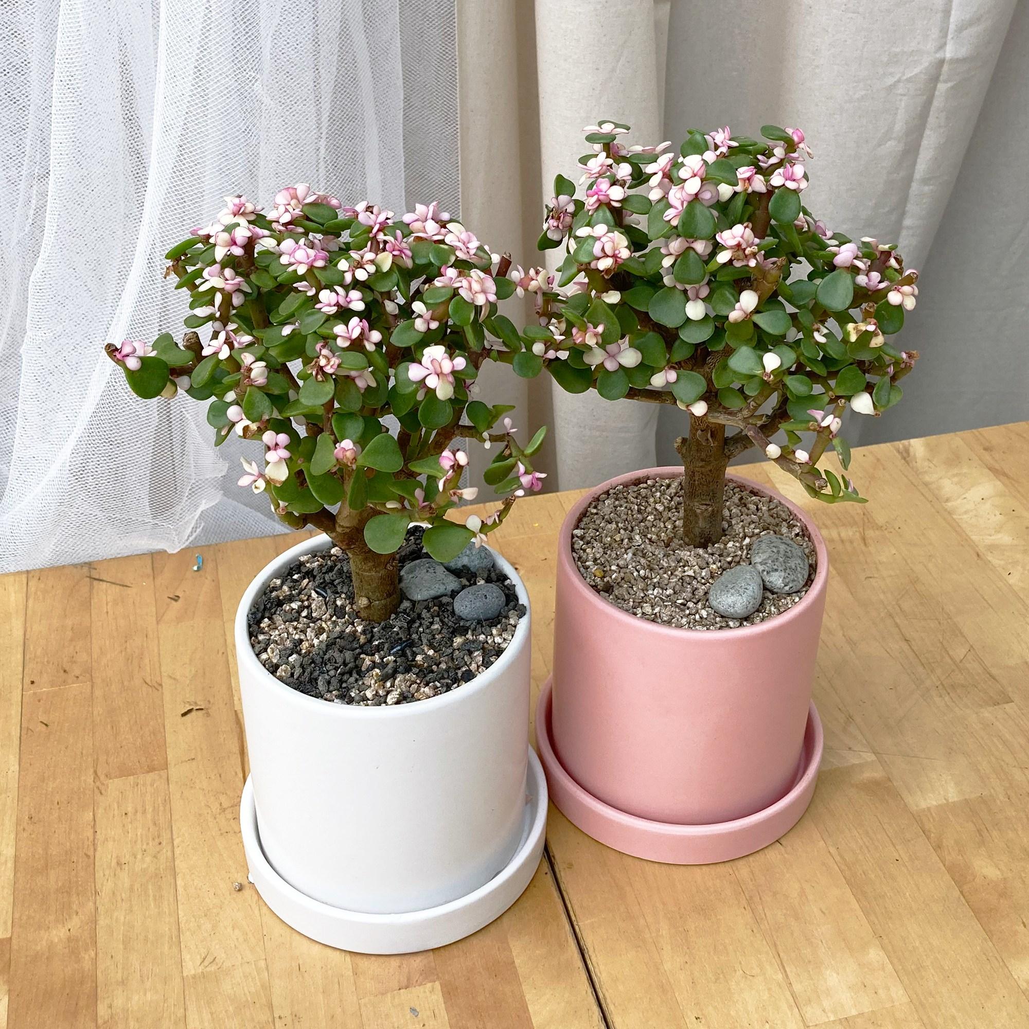 사랑스런 다육식물 공기정화식물 키우기쉬운 반려식물 사랑목 도자기, 도자기 화이트, 화분받침없음