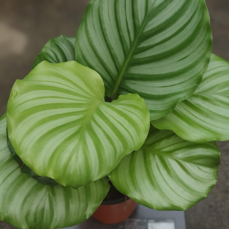 식물 공장 칼라데아오르비폴리아소품