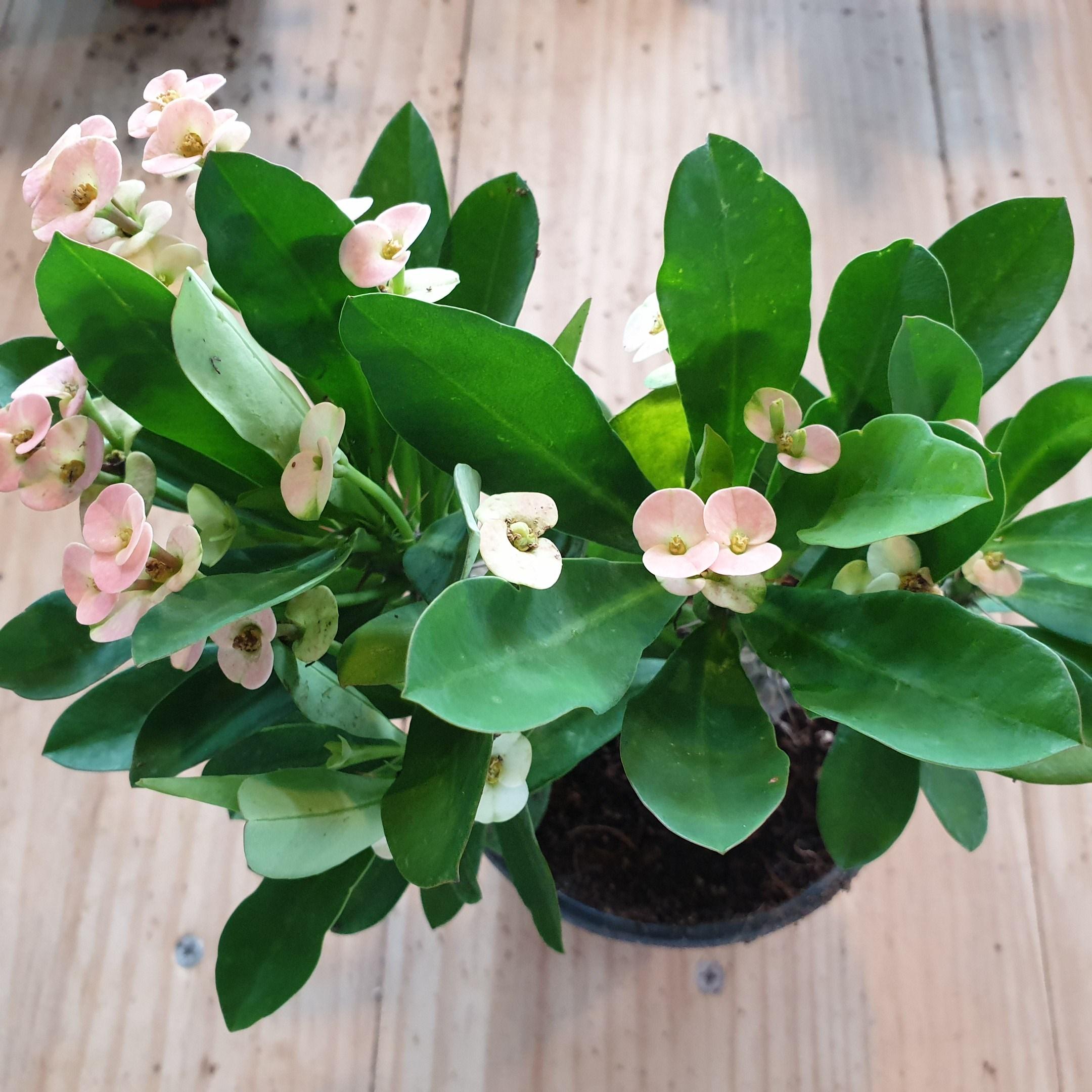 인플랜츠카페 꽃기린 핑크 사계절꽃 공기정화식물 반려식물플랜테리어