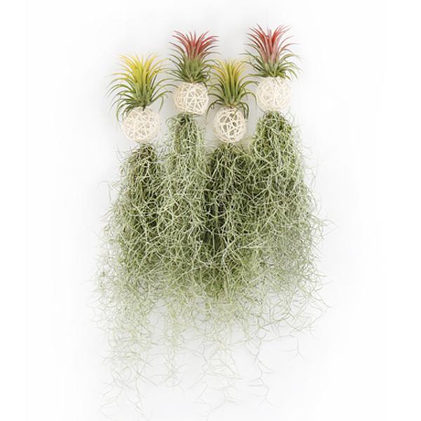 갑조네 화이트볼 수염틸란드시아(1+1) 2020.06 신상품 공기정화식물 틸란드시아 인테리어 먼지먹는 식물