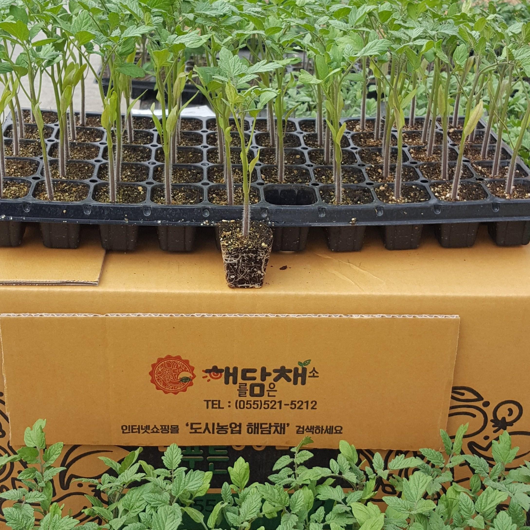 대추방울토마토모종 10포기