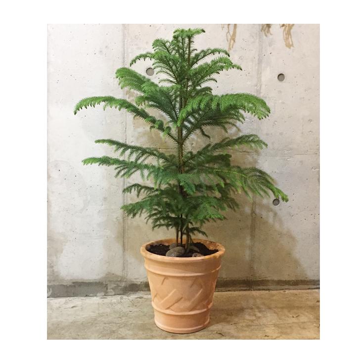 [목요일의 식물] 아라우카리아 특대형 토분 세트
