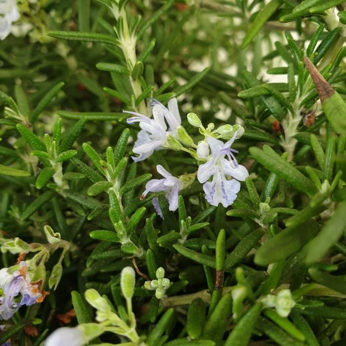 [용이네 화원] 꽃이피는 클리핑 로즈마리 130