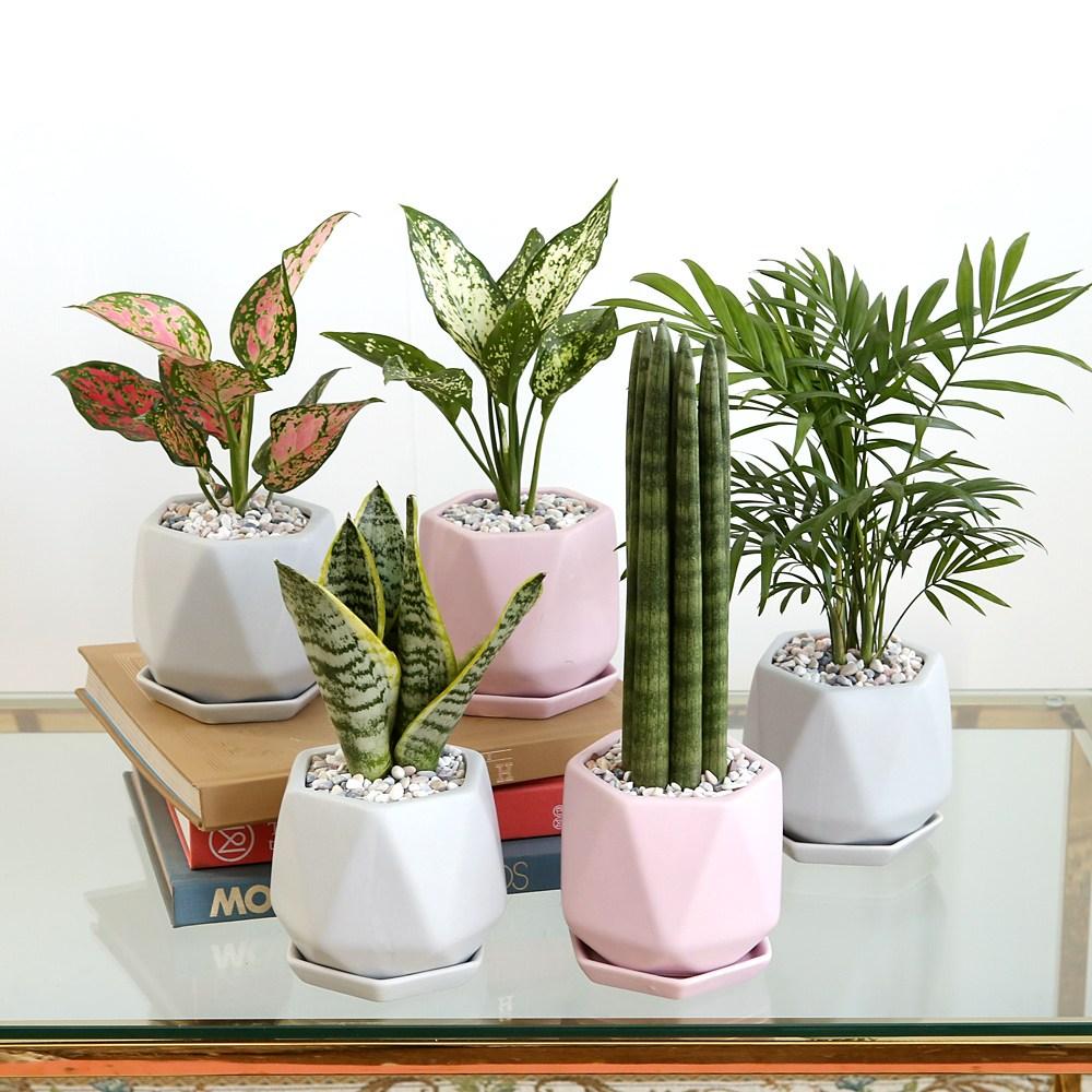 리솜 컬러 화분 공기정화식물 8종, 스노우 사파이어, 핑크
