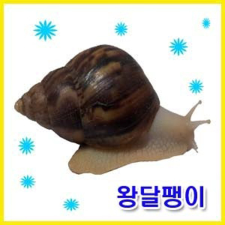 [멸치쇼핑][애니몰파크]왕달팽이풀세트(왕달팽이2마리+달팽이사육장+달팽이매트+습도조절물그릇+달팽이사료풀세트)/황금달팽이/왕달팽이/달팽이/애완달팽이, 상세페이지 참조