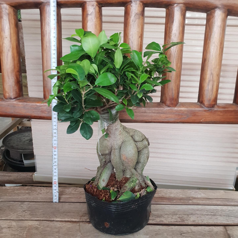 [뜨락애] 인삼팬다 분재 공기정화식물 미세먼지 선물용화분 인테리어식물