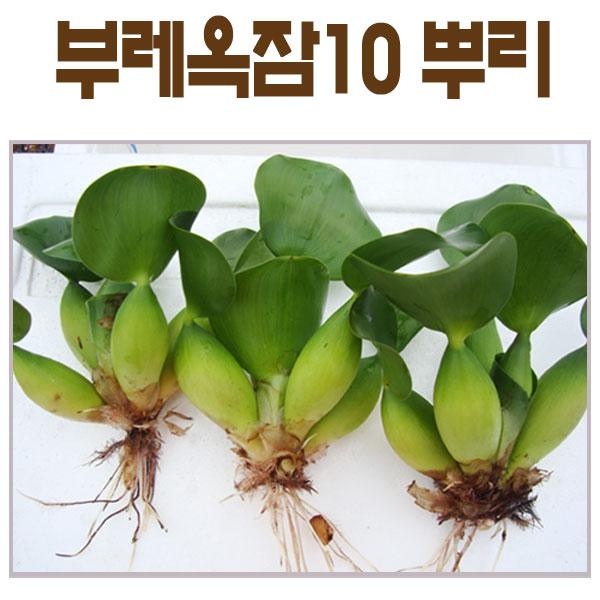 생물농장 부레옥잠10뿌리