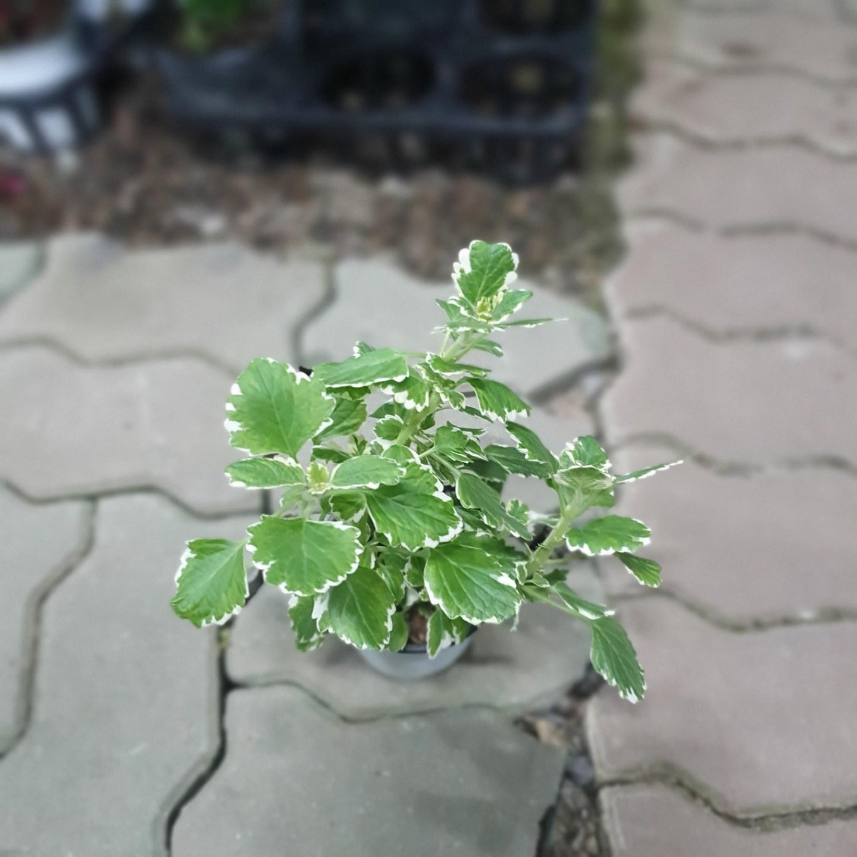 공룡꽃식물원 캔들플랜트 소품10~20cm 24 허브 공기정화식물