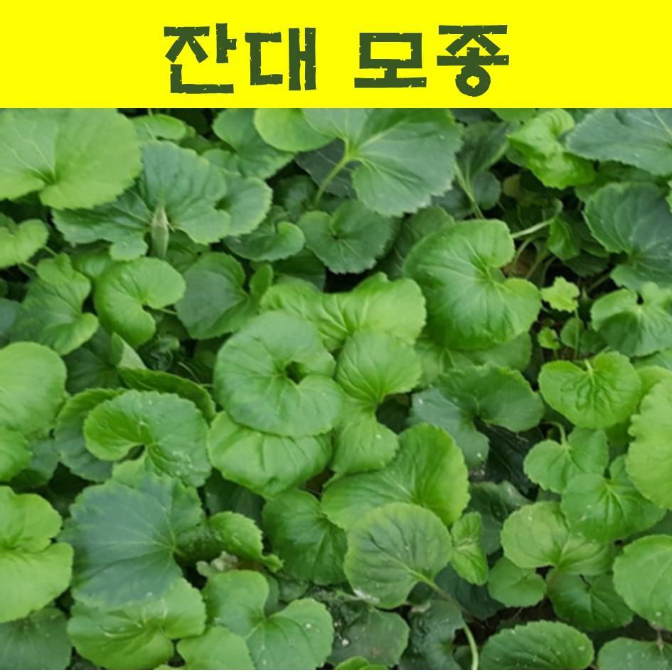 잔대모종 (20개)/잔대 모종/사삼모종/딱주모종 wj266