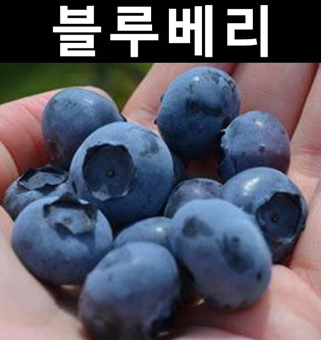 블루베리(스파르탄) 3년포트 3개/나무 묘목/과실수/유실수