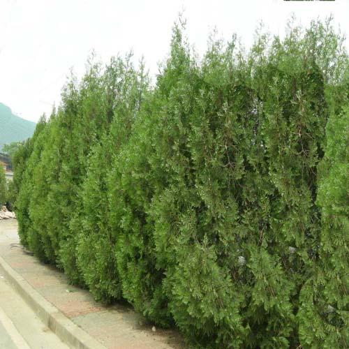 측백나무(조선측백) 키 180cm 특가판매!!, 1