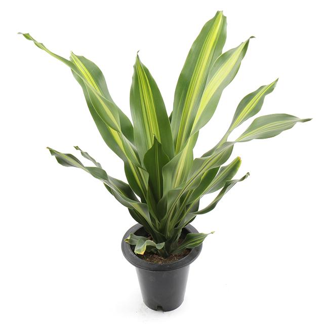 갑조네 맛상게아나 공기정화식물 중형 실내공기정화식물 인테리어화분