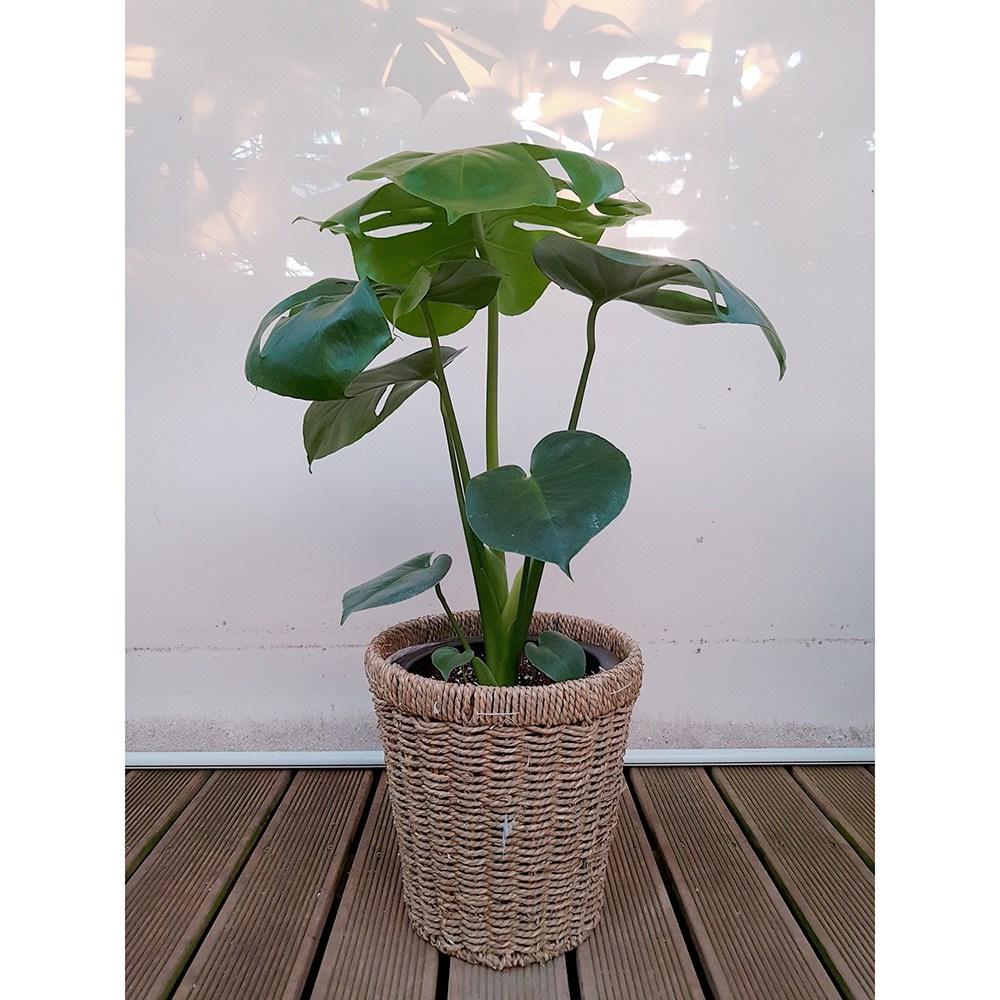 도자기랑나무랑 인테리어 실내공기정화 인기식물 플랜테리어 거실화분 원룸식물, 몬스테라+원형바구니, 1개